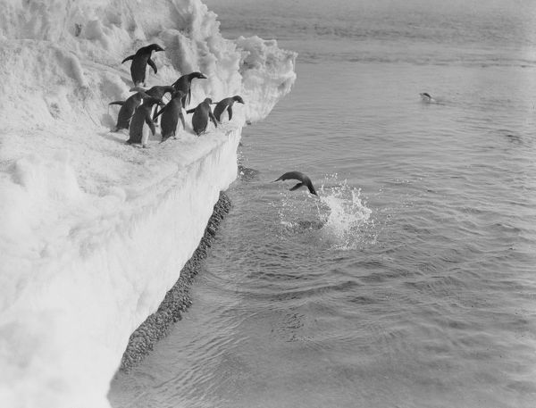 adelie penguin dives from an ice shelf others wait
