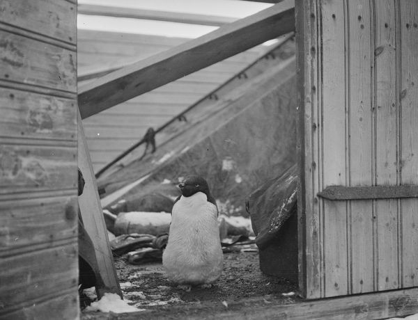 adelie penguin at doorway of a hut