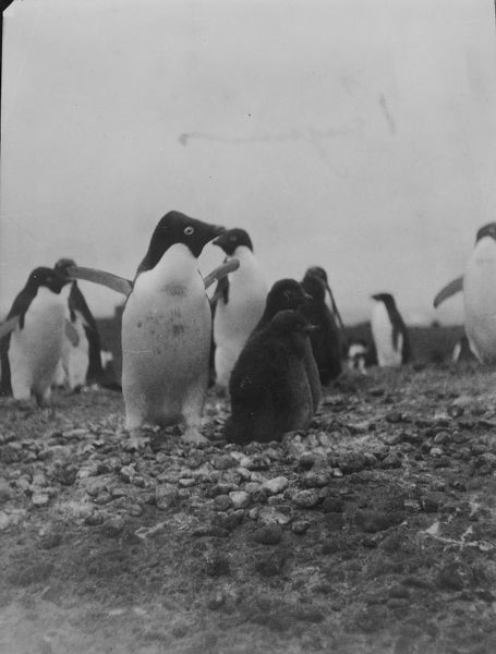 adelie penguins and chicks
