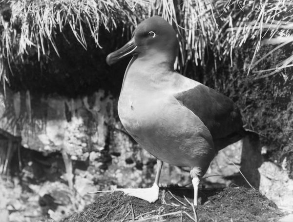sooty albatross standing by nest