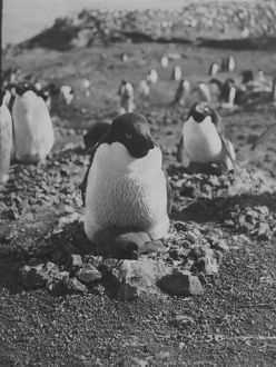 Adelie penguin and chick on nest of stones