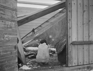 Adelie penguin, at doorway of a hut