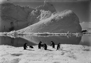 Adelie penguins and an iceberg. January 7th 1911