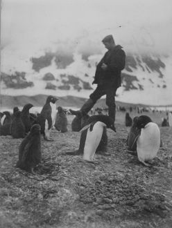 Cape Adare. A man walks amongst a group of Adelie penguins