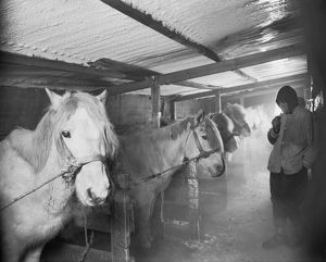Capt Oates and Siberian ponies in the stable at Winterquarters Hut. May 23rd 1911