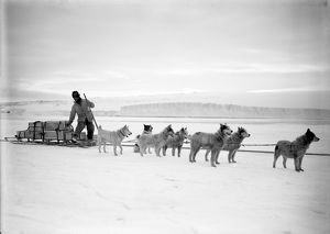 Dr Atkinson's dog team landing stores from the Terra Nova. December 2nd 1911