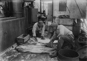 Dr. Wilson and Lt. Pennell salting seal skins. December 27th 1910