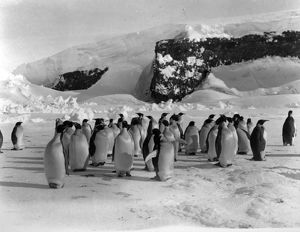Group of Emperor Penguins on the ice with snow covered rocks in background