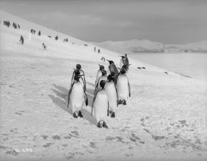 King Penguins, Bay of Isles