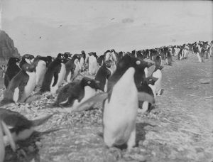 Penguins on the beach at Franklin Island