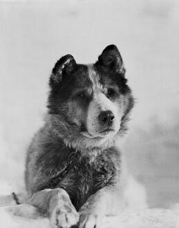 british antarctic expedition 1910 13 terra nova/portrait sledge dog vida
