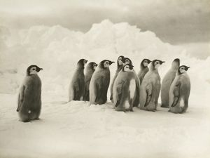 imperial trans antarctic expedition 1914 17/young emperor penguin chicks