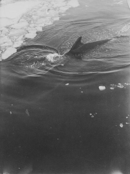 finner whale diving