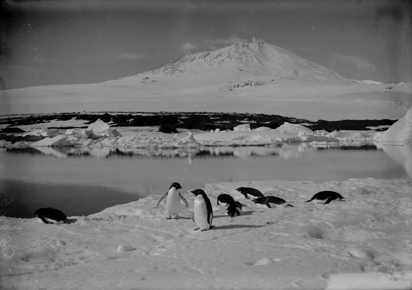 Group of Adelie penguins on an ice floe, with Mount Erebus in background. January 5th 1911