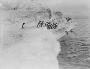 british antarctic expedition 1910 13 terra nova/george murray levick/adelie penguin dives ice shelf