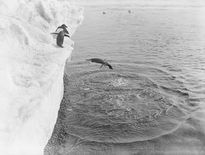 british antarctic expedition 1910 13 terra nova/george murray levick/adelie penguin dives ice shelf sea