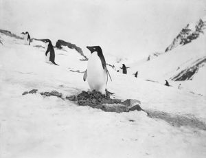 scottish national antarctic expedition 1902 04/adelie penguin nest