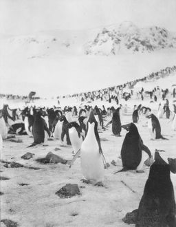 scottish national antarctic expedition 1902 04/adelie penguins