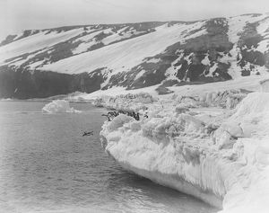 british antarctic expedition 1910 13 terra nova/george murray levick/adelie penguins ice shelf penguin dives sea