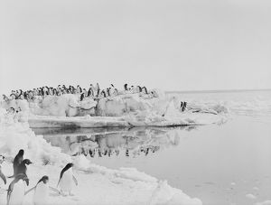 british antarctic expedition 1910 13 terra nova/george murray levick/adelie penguins standing weathered blocks ice