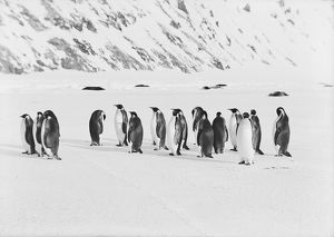 british antarctic expedition 1910 13 terra nova/debenham/emperor penguins