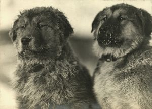 imperial trans antarctic expedition 1914 17/ikeys who puppies dog named sue