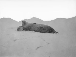 scottish national antarctic expedition 1902 04/mother baby seal