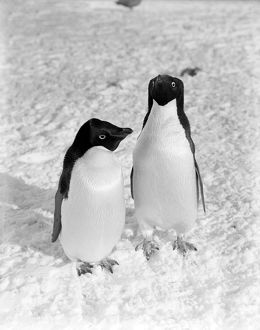 british antarctic expedition 1910 13 terra nova/pair adelie penguins january 1911