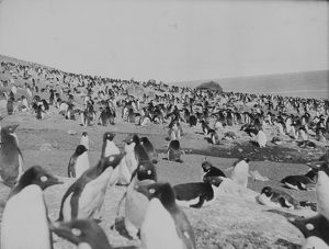 antarctic relief expeditions 1902 04/penguins beach franklin island