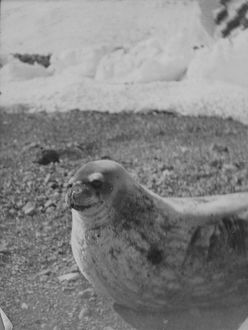 antarctic relief expeditions 1902 04/weddell seal