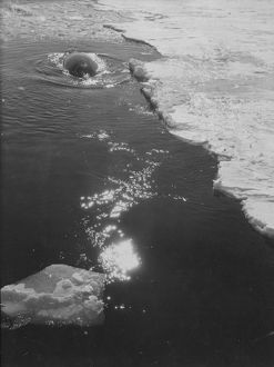 antarctic relief expeditions 1902 04/whale ice
